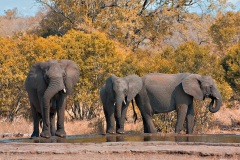 stockvault-kruger-park-elephants133552