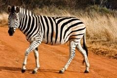 stockvault-strutting-zebra133576